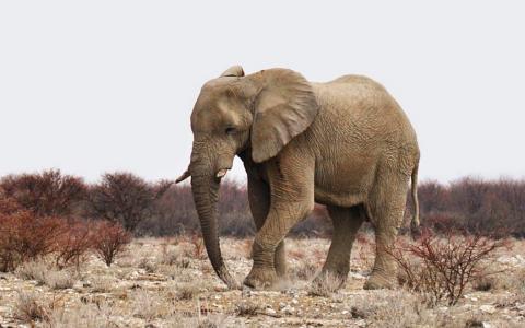 Balule Elephant