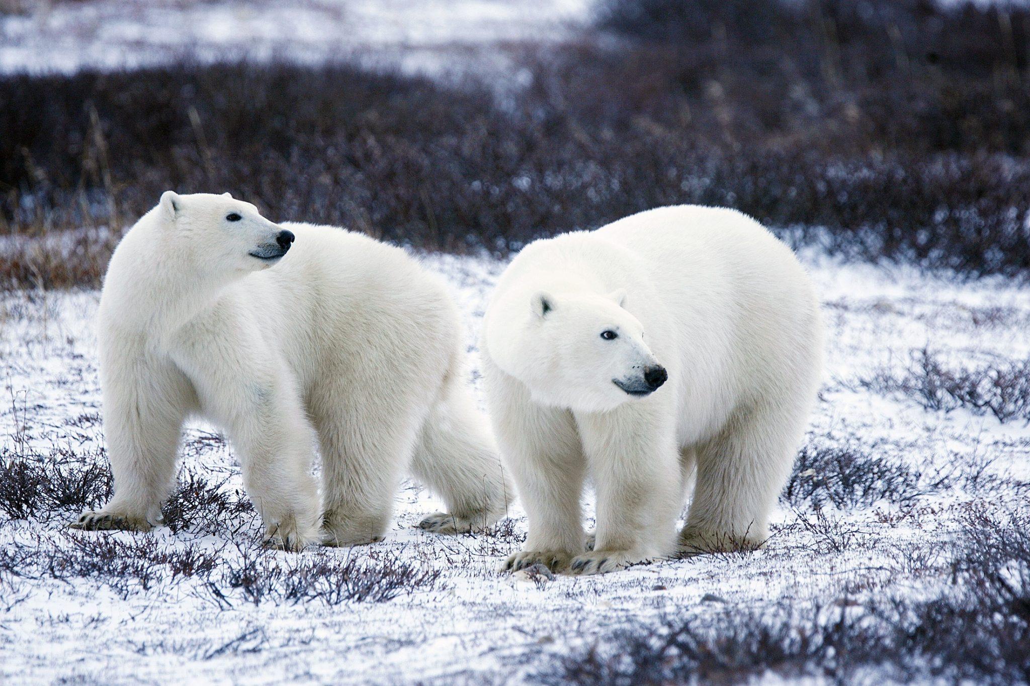 Polar Bea